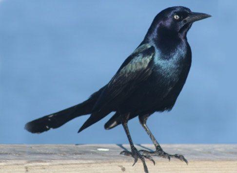 bird grackle 1